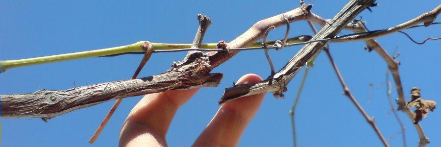 Схема обрезки винограда весной